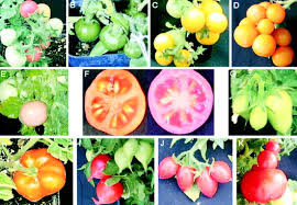 activation tagging in tomato identifies a transcriptional