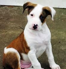 beagle x australian shepherd 17 parasta ideaa beagle temperament pinterestissä beaglen