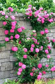 74 best rose garden images on pinterest climbing roses flowers