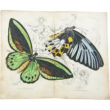 original hand colored butterfly moth print from the naturalist u0027s