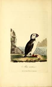232 best tuff puffin images on pinterest penguins animals and bats