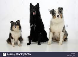 belgian sheepdog groenendael belgian shepherd sheltie and australian shepherd groenendael stock