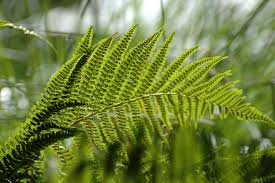 Free Picture Leaf Nature Fern Free Picture Detail Leaf Flora Nature Fern Environment Summer