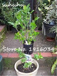 30pcs rare bonsai tree jasmine flower seeds white jasmine seeds