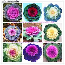 aliexpress buy 100 pcs bag kale seeds flowering ornamental