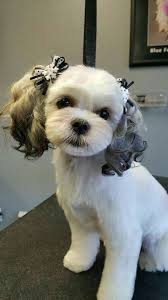 list of shih haircut 74 best shih tzu grooming hairstyles images on pinterest doggies