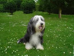 bearded collie brown bearded collie pets 123