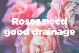 growing roses tips to plant beautiful roses reader u0027s digest
