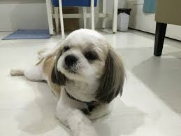 the shaved shih tzu this haircut is heaven sent if your dog