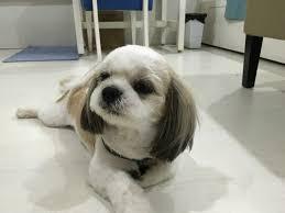 isabel shih tzu bichon summer haircut fur babies