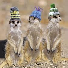 7 best meerkat u003c3 images on pinterest wild animals adorable