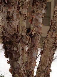 february 8 to 14 u2013 different types of bark u2013 barton arboretum blog