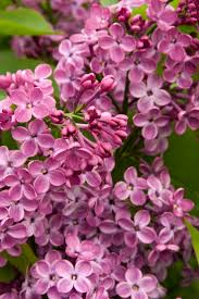 Lilca by 172 Best Shades Of Purple Images On Pinterest Plant Catalogs