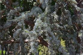 free photo weeping spruce up spruce free image on