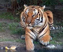 bengal tiger at houston zoo by leeannekortus on deviantart