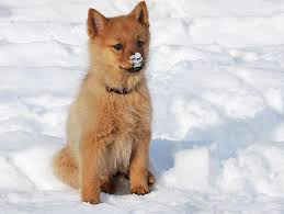 finnish spitz history personality appearance health and pictures