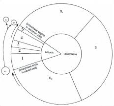 Mitosis And The Cell Cycle Worksheet Best 25 Cell Cycle Activity Ideas On Cell Journal