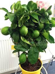 1 lemon indoor tree pot outdoor garden scent citrus fruit