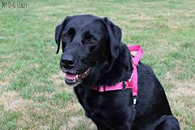 Comfort Flex Dog Harness Dexdog Harness Review Stylish Comfortable U0026 Functional