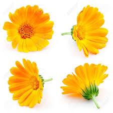 calendula flowers marigold flowers calendula flowers isolated on white set stock