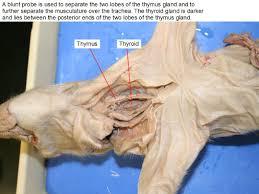 dougherty mr science biology ii fetal pig dissection piggy