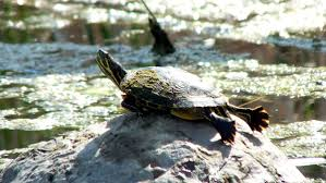 various types of turtles we have sighted in ontario
