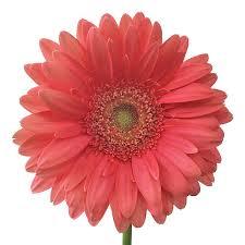 gerbera daisies reef gerbera flower