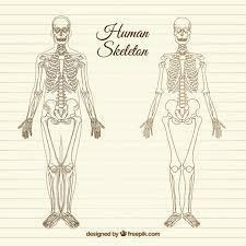 Human Anatomy Images Free Download Sketchy Human Skeleton Vector Free Download