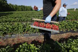 legal jam university sues scientist over strawberry theft