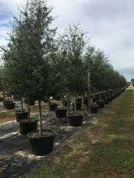live oak trees delivered and planted 12 foot farming in