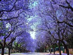 jacaranda mimosifolia showy tree 20fresh seeds lavender