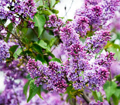 purple lilac tree flowering trees willis orchards