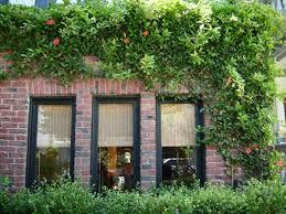 native plants san francisco trumpet creeper sturdy vine covers walls sfgate
