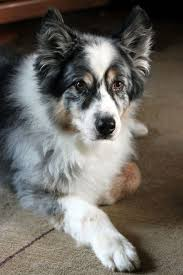 an australian shepherd lifespan 17 best images about cute things on pinterest working dogs