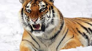 download wallpaper 1920x1080 tiger amur tiger aggression teeth