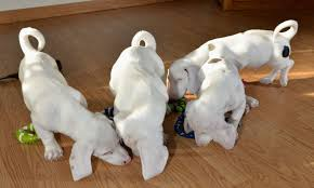 Adorable deaf and blind puppies are looking for permanent home in