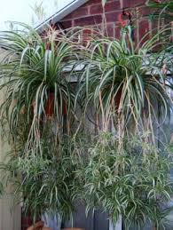Easy Care Indoor Plants Chlorophytum Comosum Spider Plant Two Hanging Baskets Containing
