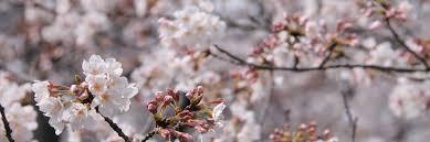 cherry blossom pics cherry blossoms sakura in japan