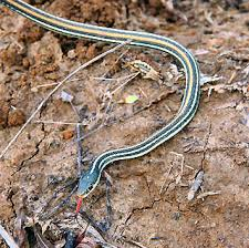 western ribbon western ribbon snake pictures