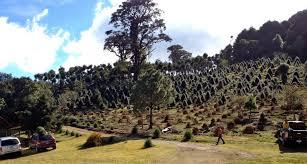 a visit to a guatemalan christmas tree farm spaswinefood