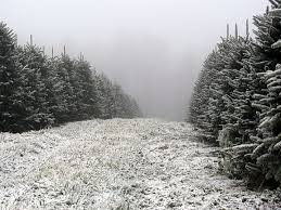 greene tree farm choose and cut christmas trees boone nc christmas