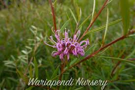 plants that are native to australia plants for clay soils native plant and revegetation specialists