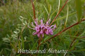 native plant nursery sydney flower gallery native plant and revegetation specialists
