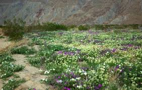 anza borrego desert flowers come and see a desert oasis of color and fragrance anza borrego