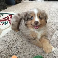australian shepherd 11 weeks old meet indy he u0027s my 8 week mini aussie shepherd he finally sat