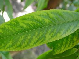Deficiency Diseases In Plants - manganese deficiency symptoms on a peach leaf bands along main