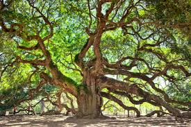 angel oak tree is perhaps the oldest live oak in north america if