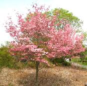 small and ornamental trees for northern and midwest gardens