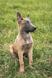 belgian shepherd san diego belgian malinois dog breed information pictures characteristics