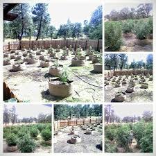 high heat plants how to help marijuana plants survive the heat grow weed easy